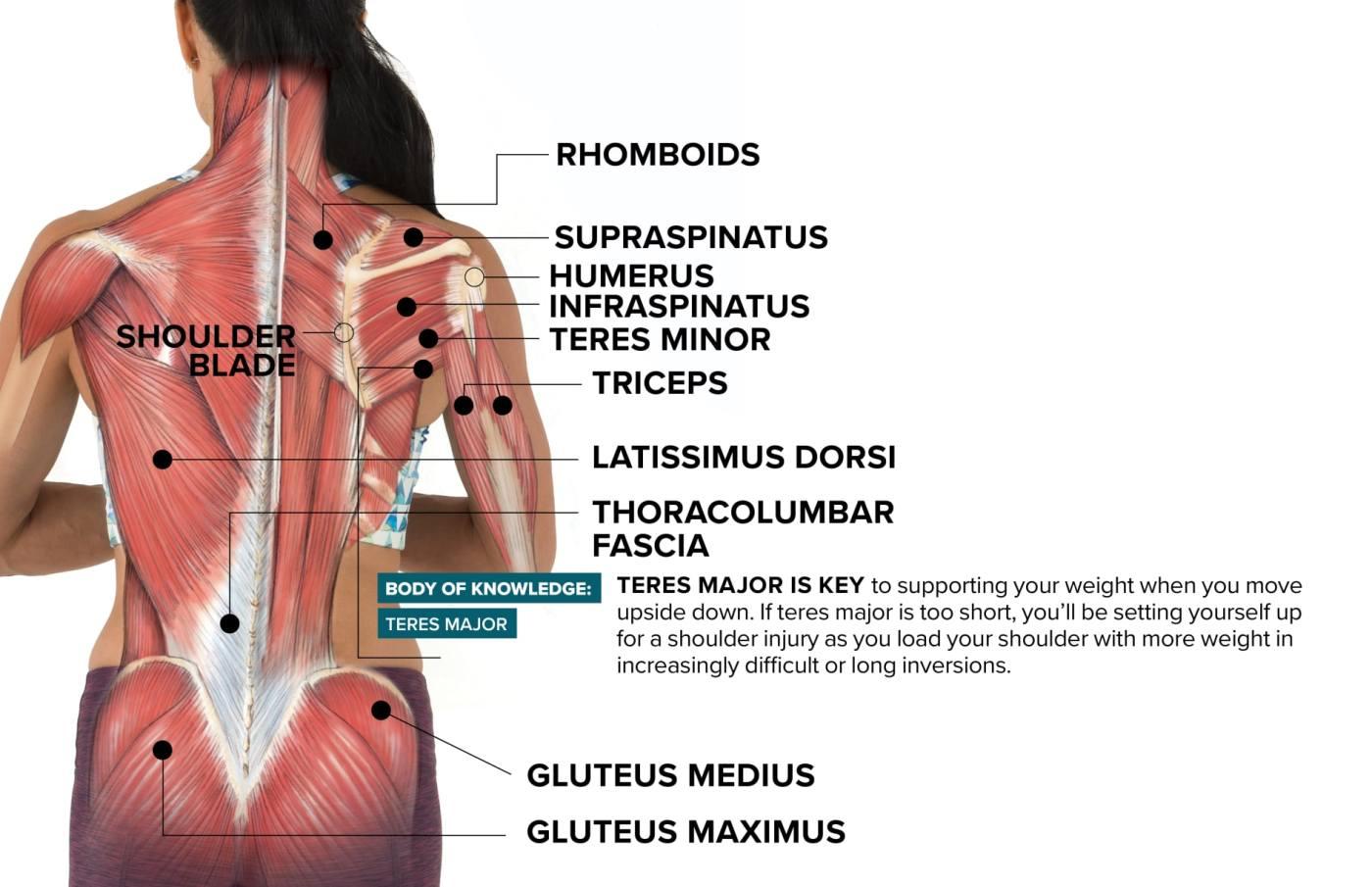 How The Teres Major Can Make Or Break Healthy Shoulders In